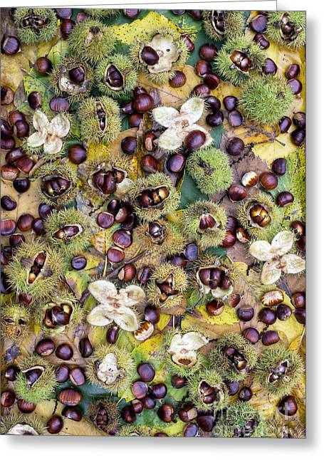 Sweet Chestnuts Greeting Card by Tim Gainey