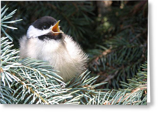 Sweet Chickadee Greeting Card