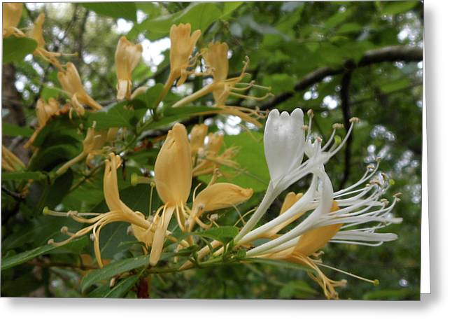 Sweet Honeysuckle Shrub Greeting Card