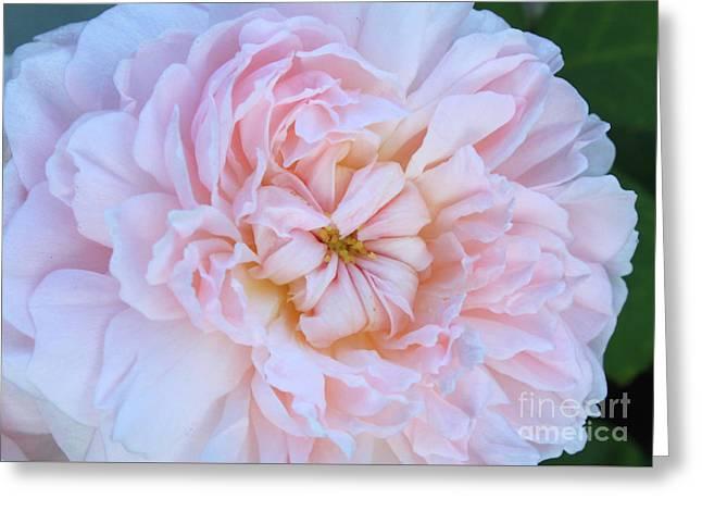 Sweet Pink Rose Closeup Greeting Card