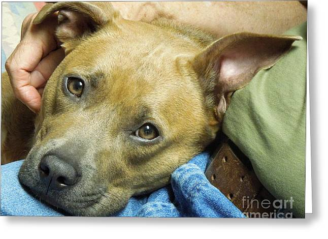 Sweet Pit Bull . Face Of Love Greeting Card by Renee Trenholm
