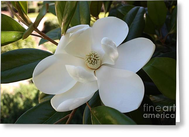 Sweet Southern Magnolia Greeting Card by Carol Groenen