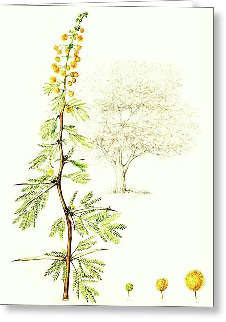 Greeting Card featuring the painting Sweet Thorn Botanical Illustration by Heidi Kriel