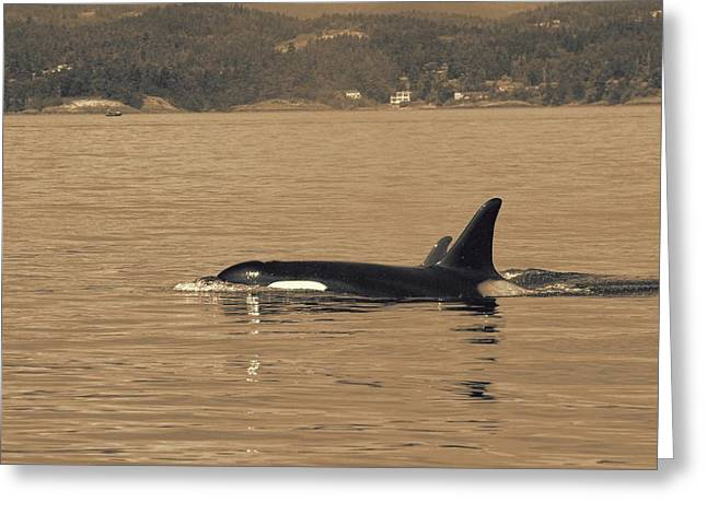 Swimming Orca And Calf  Greeting Card by Dan Sproul
