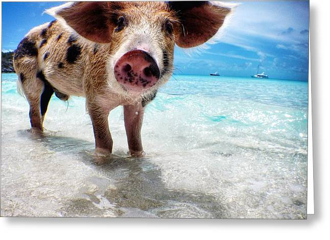 Swimming Pigs Of The Bahamas Greeting Card