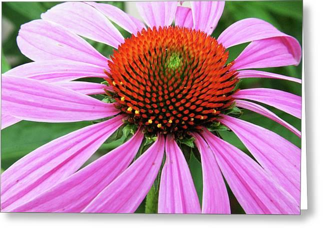 Swirling Purple Cone Flower 3576 H_2 Greeting Card