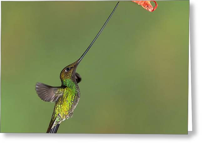 Sword-billed Hummingbird Greeting Card by Jerry Fornarotto