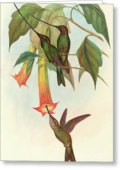 Sword Billed Hummingbird Greeting Card