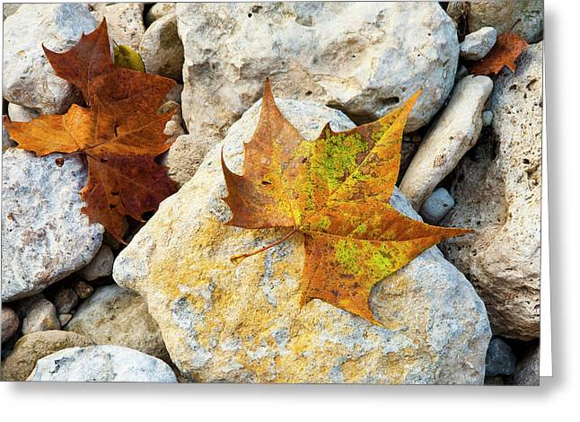 Sycamore Leaves On Creek Bed Stones. Greeting Card by Mark Weaver