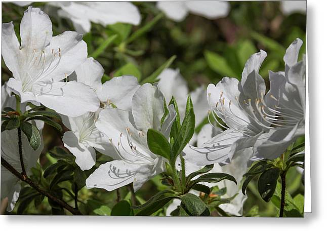 Symphony Of White Greeting Card by Teresa Mucha