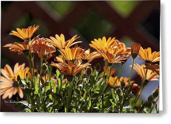 Symphony Osteospermum Greeting Card