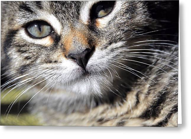Tabby Kitten Greeting Card by JAMART Photography