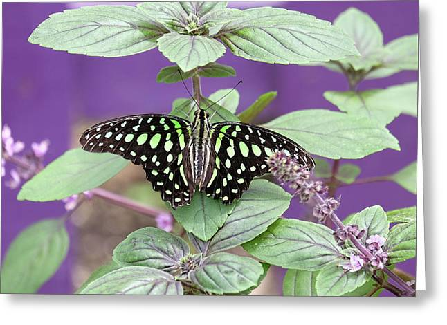 Tailed Jay Butterfly In Puple Greeting Card