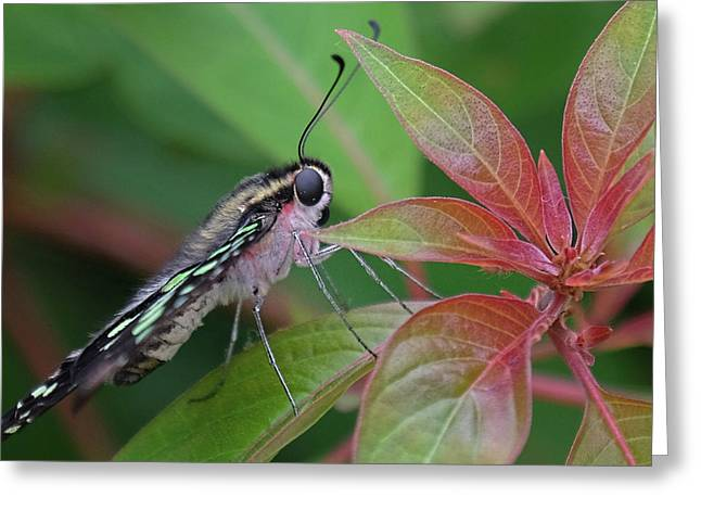 Tailed Jay Butterfly Macro Shot Greeting Card