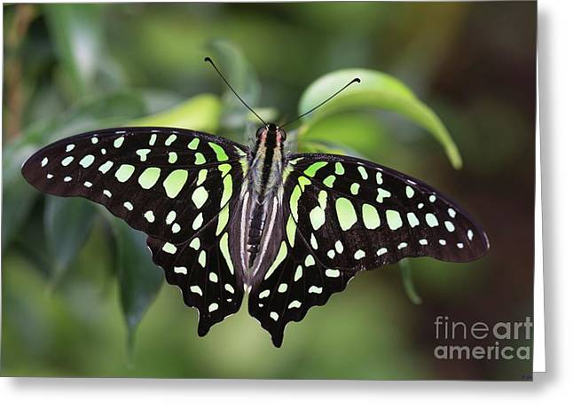 Tailed Jay Greeting Card