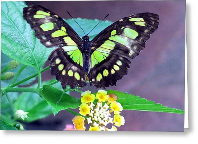 Tailed Jay Visits Lantana Greeting Card by Betty Buller Whitehead
