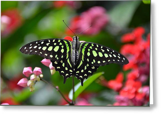 Tailed Jay4 Greeting Card