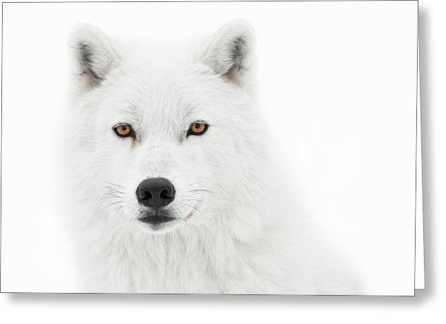 Arctic Wolf Greeting Cards - Take the pose Greeting Card by PNDT Photo