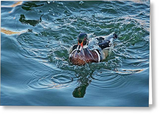 Taking A Dip, Wood Duck Greeting Card