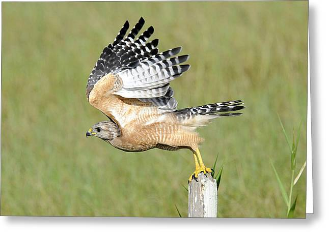 Taking Flight Greeting Card by Keith Lovejoy