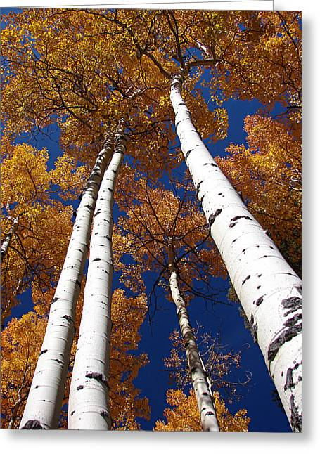 Tall Aspen Greeting Card
