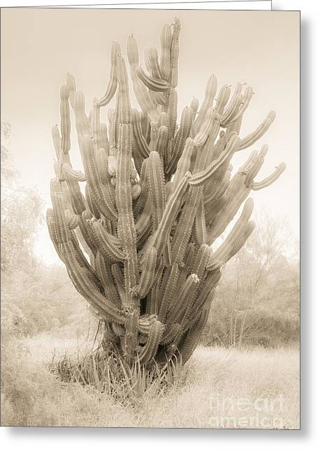 Tall Cactus In Sepia Greeting Card