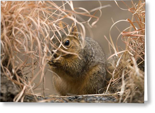 Tall Grasses Make Up A Fox Squirrels Greeting Card by Joel Sartore