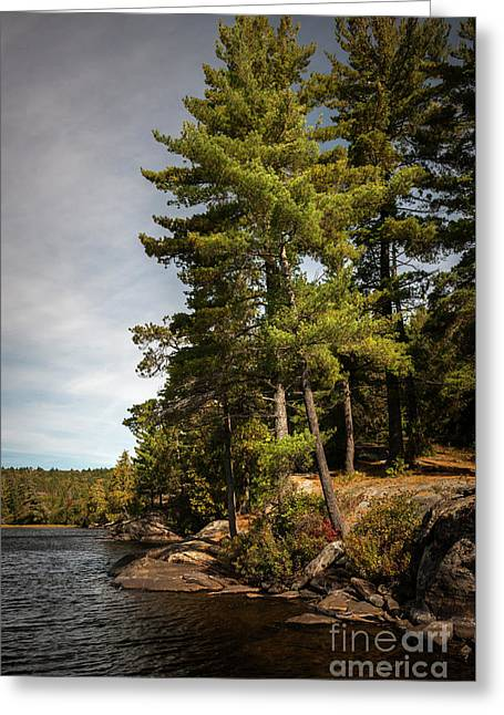 Tall Pines On Lake Shore Greeting Card