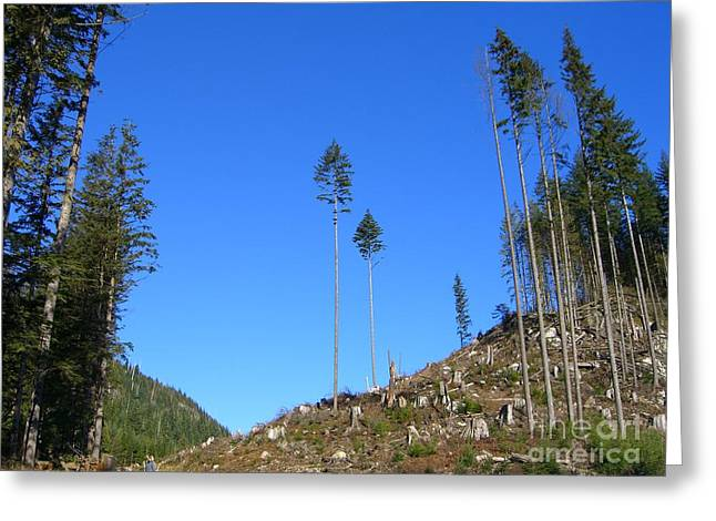 Tall Timbers Greeting Card by Jim Thomson