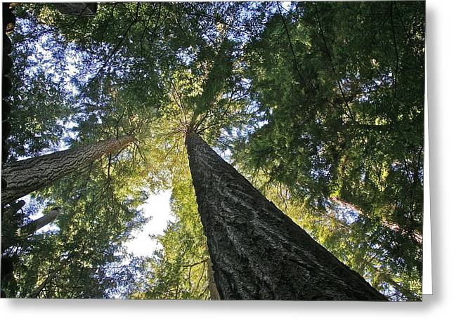 Tall Trees Greeting Card by Robert Joseph