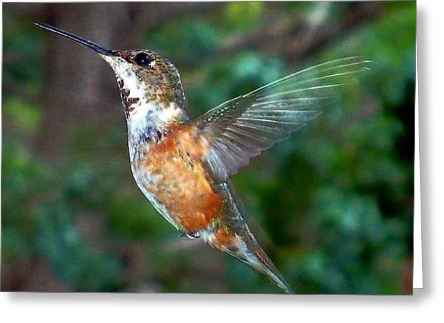 Tan Hummingbird Greeting Card by Joseph Frank Baraba