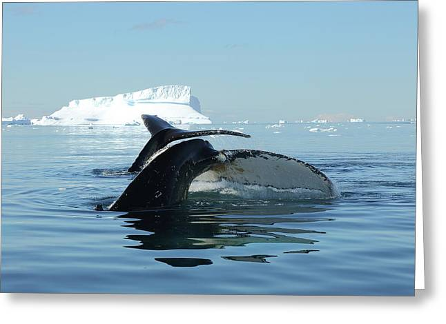 Tandem Humpback Whale Flukes Greeting Card