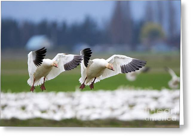Tandem Landing  Greeting Card by Mike Dawson