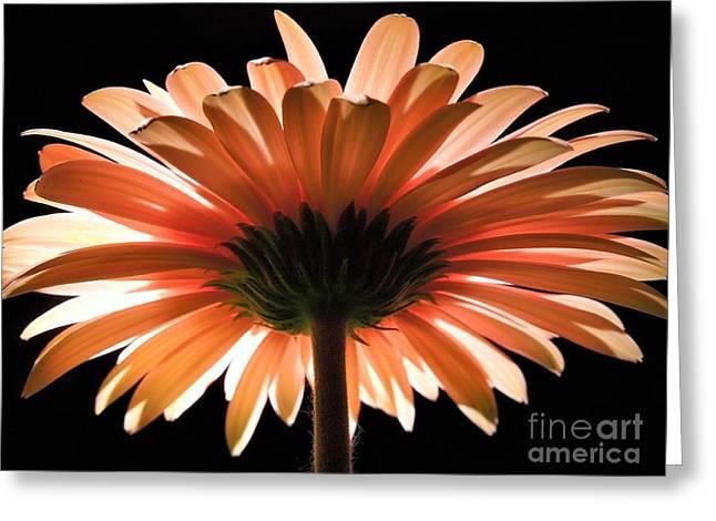 Tangerine Gerber Daisy Greeting Card