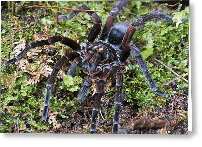 Arthropod Greeting Cards - Tarantula Pamphobeteus Sp Male, Mindo Greeting Card by James Christensen