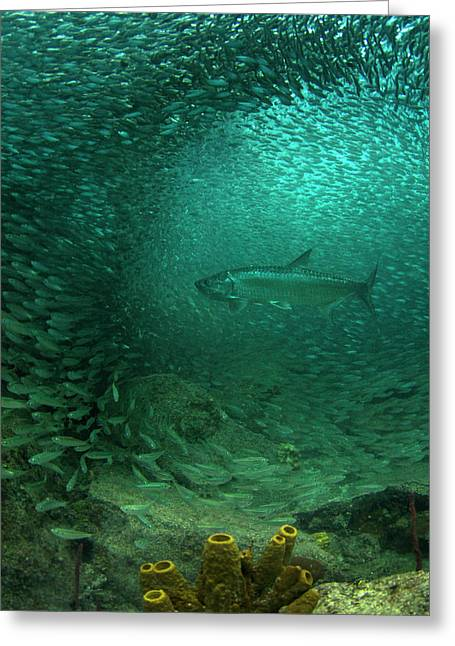 Tarpon Candy Greeting Card by Adrian E Gray
