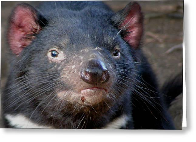 Tasmanian Devil Greeting Card by Greg Slocum