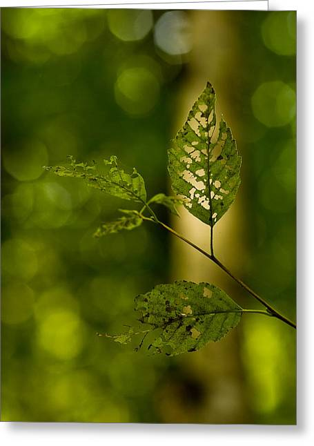 Tattered Leaves Greeting Card by Mike Reid