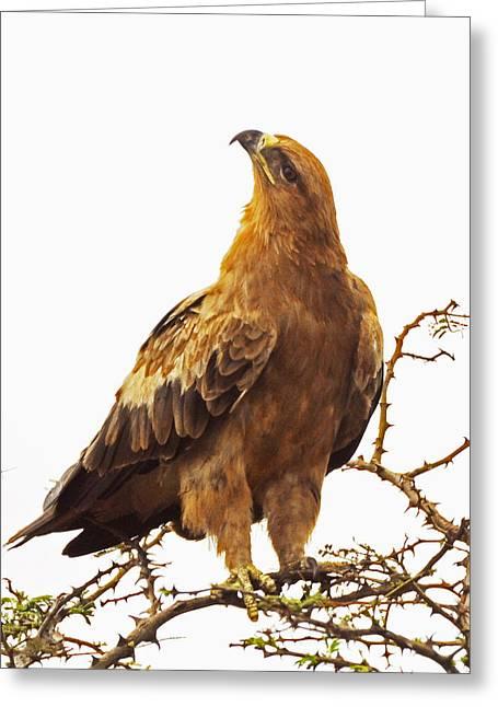 Tawny Eagle Greeting Card by Patrick Kain