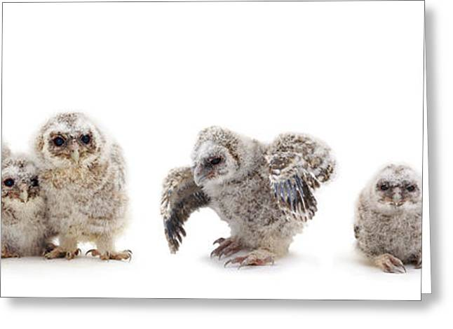 Tawny Owl Family Greeting Card