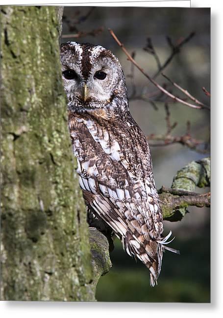 Tawny Owl In A Woodland Greeting Card