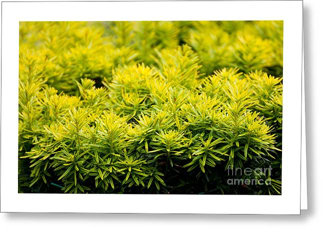 Taxus Baccata Yew New Shoots Greeting Card