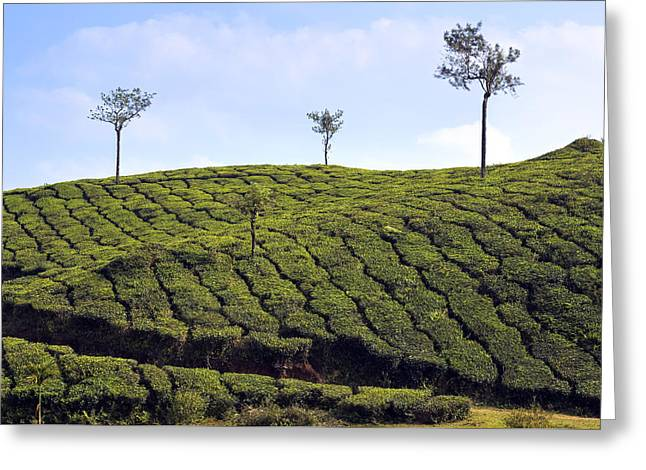 Tea Planation In Kerala - India Greeting Card