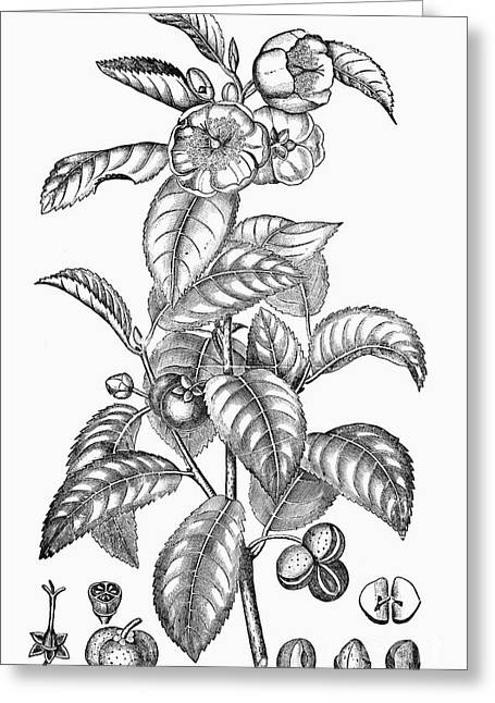 Tea Plant, 19th Century Greeting Card by Granger