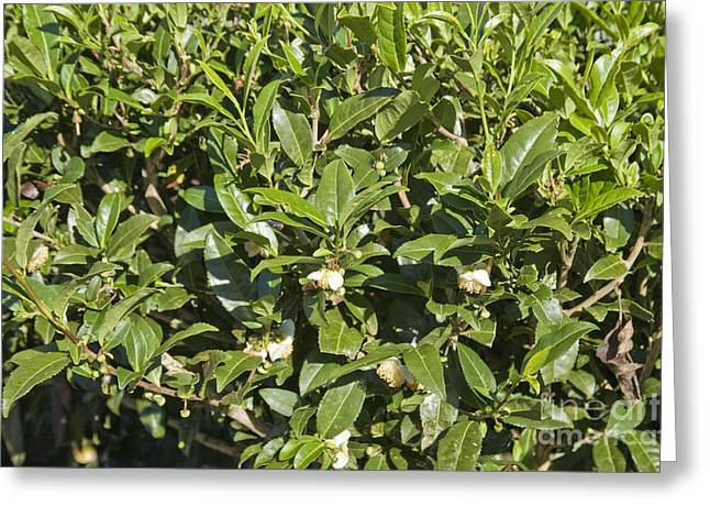 Tea Plants Greeting Card
