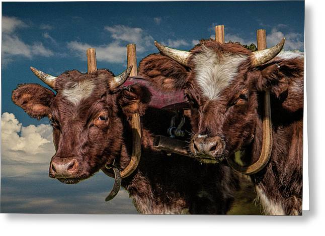 Team Of Oxen Greeting Card by Randall Nyhof
