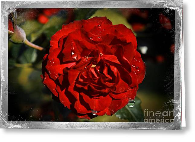 Tears Over Beauty Greeting Card by Stefano Senise
