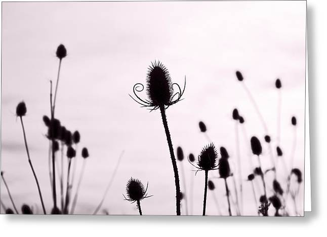 Teasels In A French Field  II Greeting Card by Gareth Davies