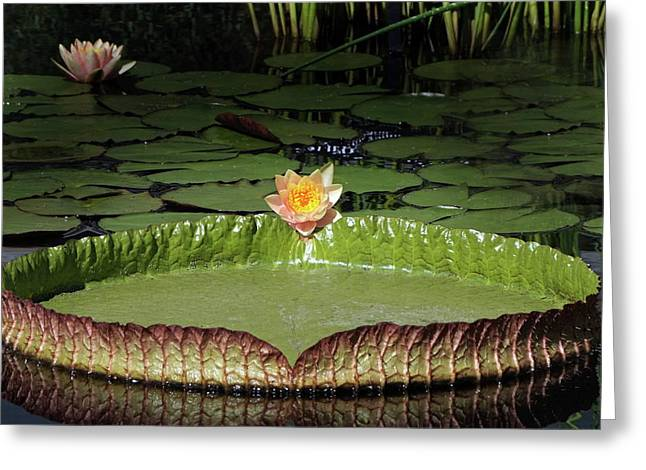 Temperate And Tropical Waterlilies Greeting Card by Byron Varvarigos
