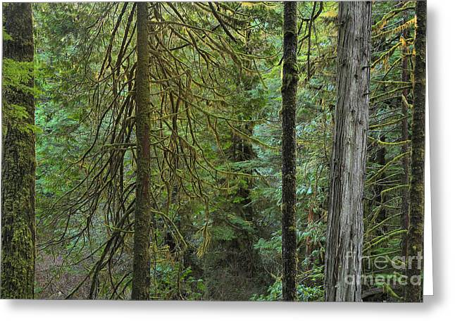Temperate Rainforest Trunks Greeting Card by Adam Jewell